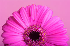 Pink gerbera on pink background. This image shows a pink gerbera on a pink background Stock Image