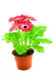 Pink gerbera in a pot Stock Photography