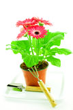 Pink gerbera in a pot Stock Photography