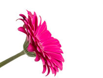 Pink Gerbera. A pretty pink gerbera daisy facing to the side isolated on a white background stock image