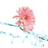 Pink gerbera splash Stock Photography