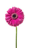 Pink gerbera with water drops on petals , isolated Royalty Free Stock Image