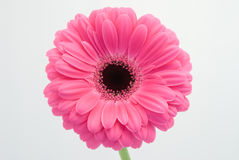 Pink Gerbera On White Background. Pink gerbera flower on white background royalty free stock photography