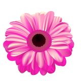 Pink gerbera on white background, flower with gradient fill, mes. H gradient, beautiful flower Royalty Free Stock Photos