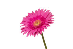 Pink gerbera on white Stock Photo