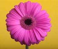Pink gerbera on a yellow background. Stock Photo