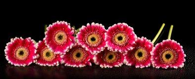 Pink gerberas on black background Royalty Free Stock Image