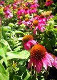 Pink gerberas daisies plants in garden Stock Images