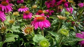 Pink gerberas daisies plants in garden Stock Photography