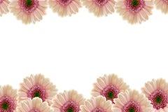 Pink Gerberas. Pink gerbera flower border Royalty Free Stock Image