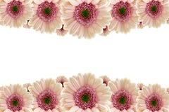 Pink Gerberas Royalty Free Stock Photography