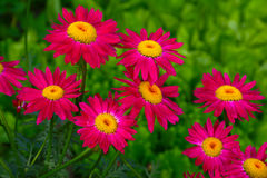 Pink gerberas on green grass background Stock Photography