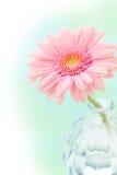 Pink gerberas Stock Images