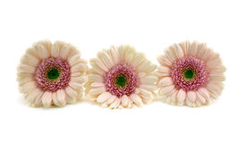 Pink Gerberas. Three pink gerbera flowers on white background Stock Images