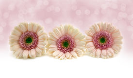 Pink Gerberas. Three pink gerbera flowers on white background Stock Photo