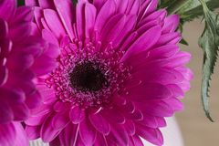 Pink gerbere in bloom macro still. With smooth petals royalty free stock images