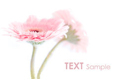 Pink gerbers Royalty Free Stock Photo