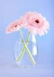 Pink gerbers Royalty Free Stock Image