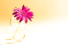 Pink gerbers Royalty Free Stock Images