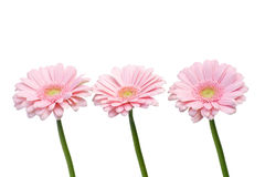 Pink gerbers stock photo