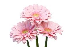 Pink gerbers Royalty Free Stock Photos