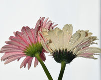 Pink gerbers. Beautiful two pink gerbers with the waterdrops close up at my home Stock Photos
