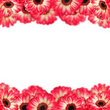 Pink gerbers frame Royalty Free Stock Photos