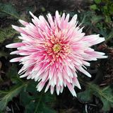 Pink gerbra. Flowers in winter.  Nature Royalty Free Stock Photography