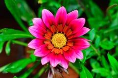 Pink giant gazania, Pune. Close up f Pink giant gazania flower at Pune Royalty Free Stock Photo