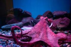 Free Pink Giant Octopus Sleep In Nagoya Aquarium Stock Photography - 202648922