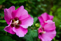 Pink Giant Rose of Sharon blooming in the summer with other blossoms in the background. royalty free stock photo