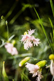 Pink gillyflowers. Macro of pink gillyflowers in the grass Royalty Free Stock Image