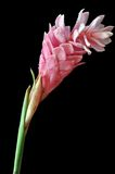 Pink ginger flower Royalty Free Stock Photo