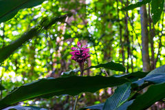 Pink ginger flower on a meadow in the trees. Pink flower growing near a meadow Royalty Free Stock Images