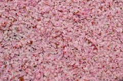 Pink Girly Background Cherry Blossom Flower Petals Full Frame royalty free stock photography