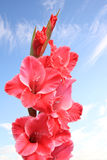 Pink gladiola flower against blue sky Stock Photo