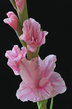Pink Gladiolas. Close-up of pink gladiolas showing their vibrant color, design, and details Stock Image