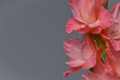 Pink gladiolas on grey. Background with negative space Stock Images