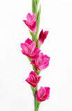 Pink gladioli in china Royalty Free Stock Photos