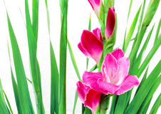 Pink gladioli in china. And with path Stock Photo