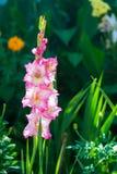 Pink gladioli in a wild garden Stock Photos
