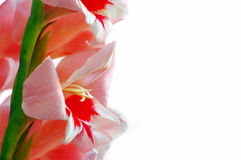 Pink gladiolus royalty free stock photography
