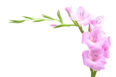 Pink gladiolus Royalty Free Stock Images