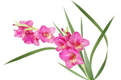 Pink Gladiolus. Bicolor pink and yellow gladiolus flower isolated on white stock photography