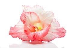 Pink gladiolus Stock Photo