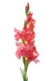 Pink gladiolus Royalty Free Stock Photos