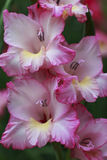 Pink Gladiolus in Bloom. In the garden Stock Photos