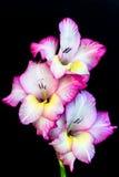 Pink gladiolus Royalty Free Stock Photo