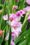 Pink gladiolus Stock Images