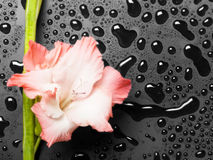 Pink gladiolus on dark background Royalty Free Stock Photography